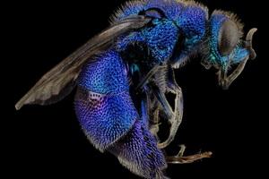Cuckoo Wasp Insect Macro
