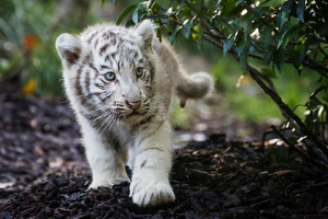 Cute Cub Bengal White Tiger