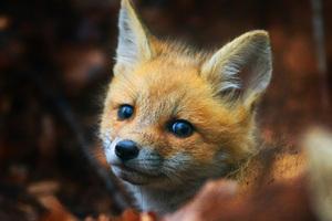 Cute Fox Cub Wallpaper
