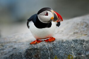 Cute Puffin Bird