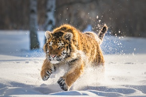 Cute Tiger Cub Running Wallpaper