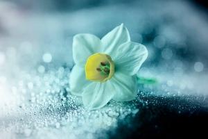 Daffodil Flower Petals Drops Wallpaper