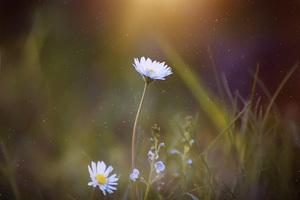 Daisy Blossom Flower