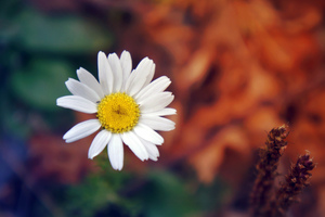 Daisy Flower Petals Close Up Wallpaper