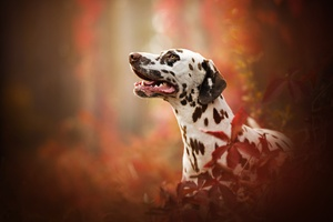Dalmatian Breed Dog Wallpaper