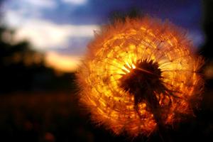 Dandelion Amazing Sunset