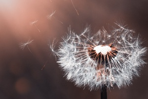 Dandelion Flower Macro 5k Wallpaper
