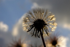 Dandelion Plant Wallpaper