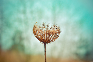 Dandelion Plants Wallpaper