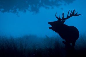 Deer 4k