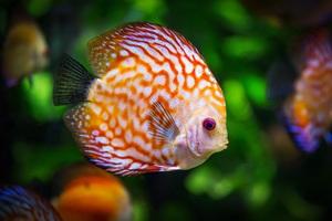 Discus Fish 5k Wallpaper