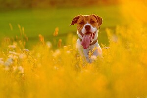 Dog In Fields Wallpaper