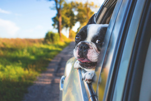 Dog Looking Outside Car Window Wallpaper
