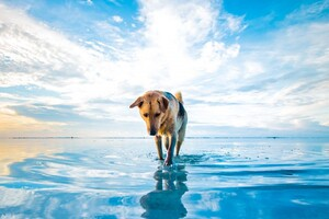 Dog On Lake Wallpaper
