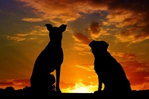 Dogs Silhouette 4k