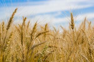 Dry Wheat Farm Wallpaper