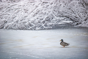 Duck In Winter 5k Wallpaper
