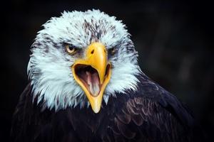 Eagle Beak Tongue Open 4k