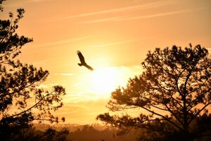 Eagle Flying Towards Sunset 5k Wallpaper