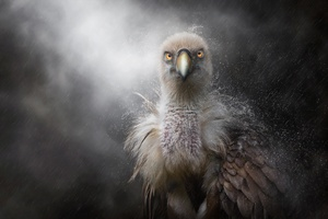 Eagle In Rain Wallpaper