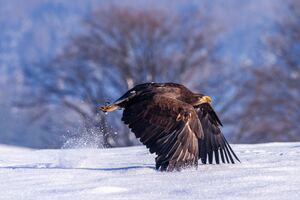 Eagle In Snow 4k