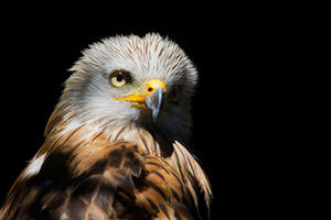 Eagle Red Kite Black Beak 4k