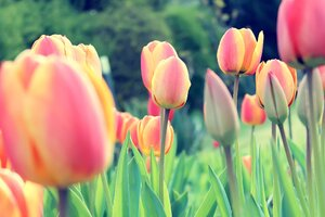 Easter Tulips Wallpaper