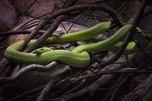 Emerald Tree Boa Wallpaper