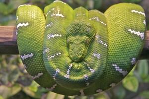 Emerald Tree Boa Snake