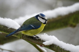 Eurasian Blue Tit Wallpaper