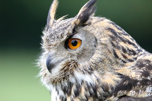 Eurasian Owl Wallpaper