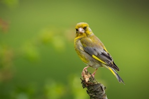 European Greenfinch Wallpaper