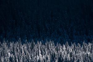 Evergreen Pine Shadow Pine Trees