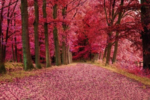Fall Foilage Path Pink Trees