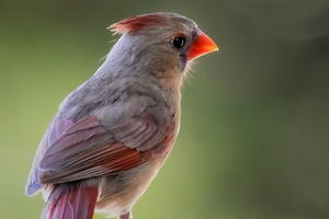 Female Cardinal Sitting On The Fence