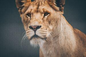 Female Lioness 4k