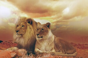 Female Male Lions Wallpaper