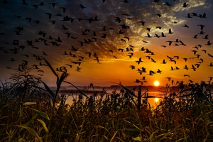 Flock Of Birds Flying At Dawn Time