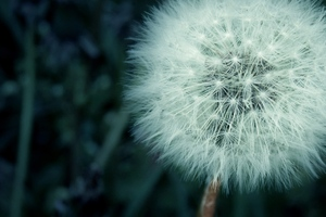 Flower Fluff Macro Wallpaper
