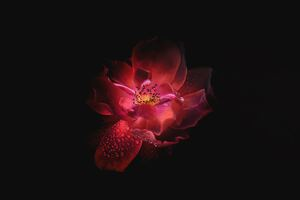 Flower Oled 4k