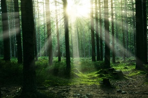 Forest Sunbeam Trees