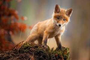 Fox Cub Baby Animal Cute Hd