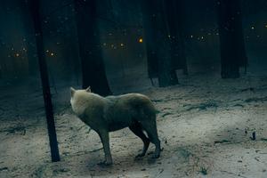 Fox In Dark Forest
