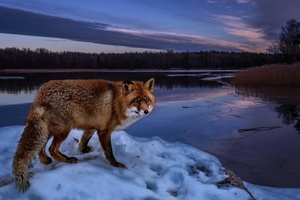 Fox On Lake
