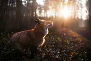 Fox Outdoor Wallpaper