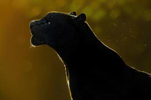 Free Spirit Black Panther 4k Wallpaper