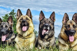 German Shepherd 4 Wallpaper