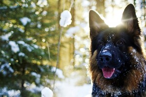 German Shepherd In Snow Wallpaper