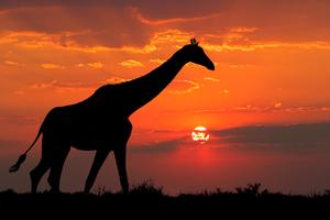 Giraffe Silhouette 4k Wallpaper