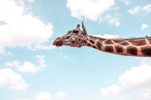 Giraffe Under Blue Sky 5k Wallpaper